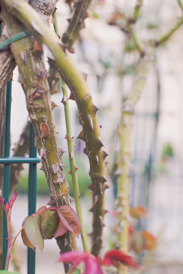 jardin de roses (4)