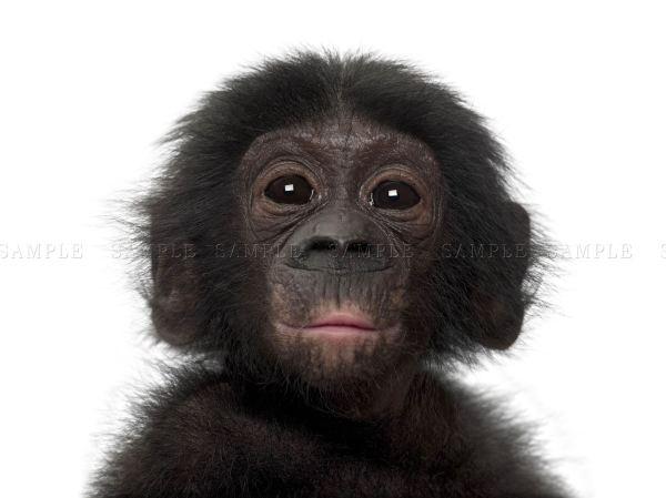 Animal Bonobo Chimp Chimpanzee Baby Young Art