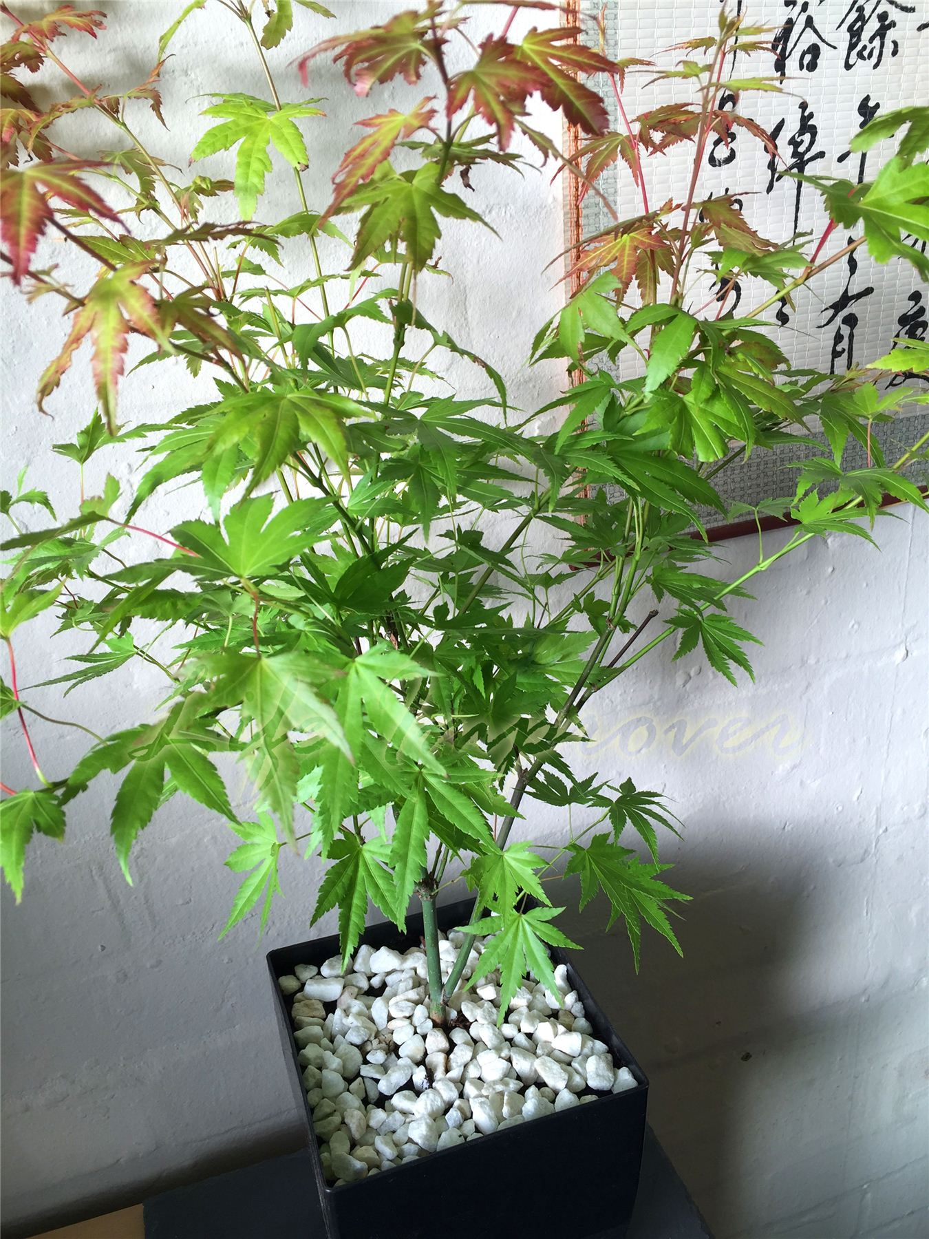 Japanese House Plants