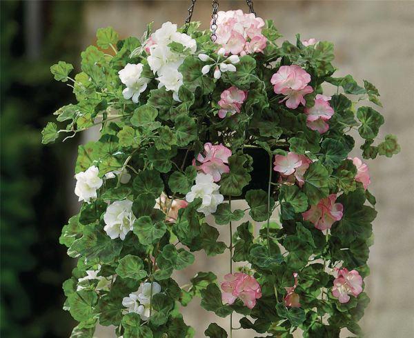 Bloom Hanging Basket Pelargoniums Indoor Outdoor Garden