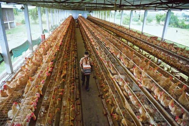 indian poultry farms are