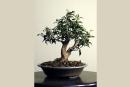 Le bonsaï: une expérience personnelle