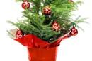 Un (sa)pin de Noël vivant