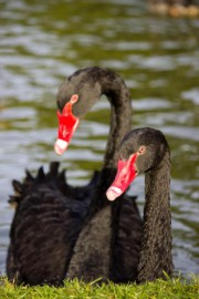 Un couple de cygnes noirs... (PHOTO THINKSTOCK) - image 1.0