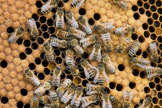 Les néonicotinoïdes peuvent engendrer des modifications des enzymes du cerveau de l'abeille. L'insecte peut alors avoir de la difficulté à voler, à s'orienter ou à communiquer avec les membres de sa colonie.