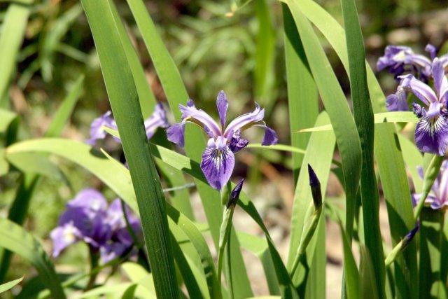 L'iris versicolore est le véritable emblème floral des... (Photo,t www.jardinierparesseux.com)