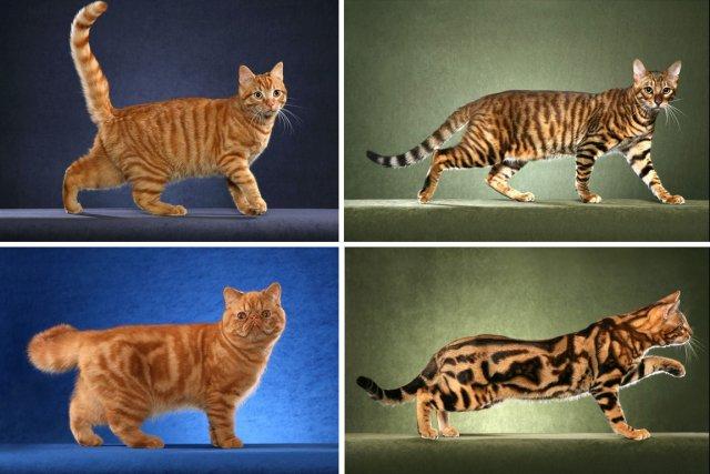 Tacheté ou marbré? Le gène qui détermine cette variable du pelage chez le chat... (Photo: AP)