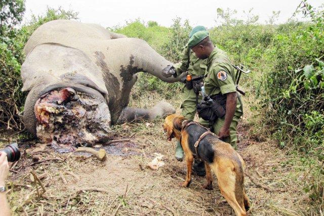 Camerounais d'origine centrafricaine, «Sangha s'est spécialisé dans l'abattage... (PHOTO ARCHIVES AFP)