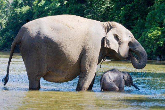 Moins de trois mille éléphants de Sumatra vivent... (PHOTO CHAIDEER MAHYUDDIN, ARCHIVES AFP)