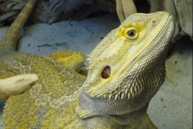 Les reptiles nécessitent de la nourriture et des... (Photo tirée de The Toronto Pet)