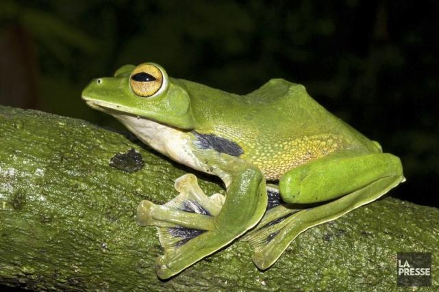 La grenouille se distingue également par la couleur... (PHOTO Jodi ROWLEY, AFP)