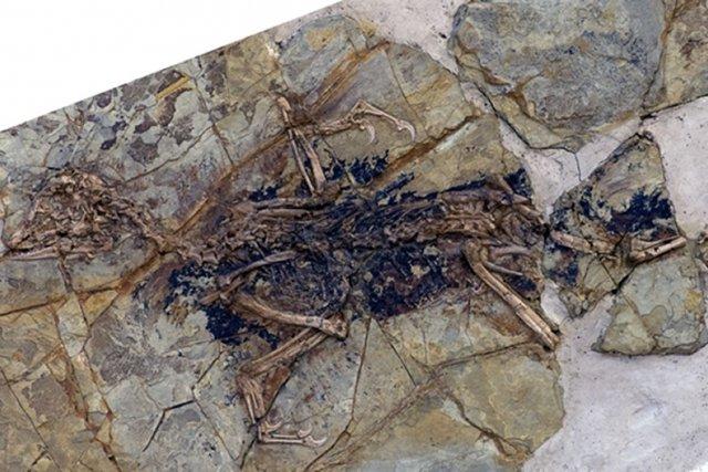 Fossile d'un oiseau préhistorique découvert en 2009 en... (Photo XING XU, AFP)