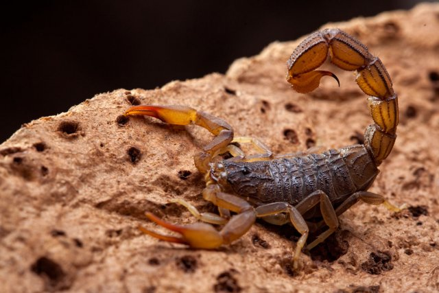 Un fossile scorpion de 350 millions d'années, le plus vieil animal terrestre... (Photos.com)