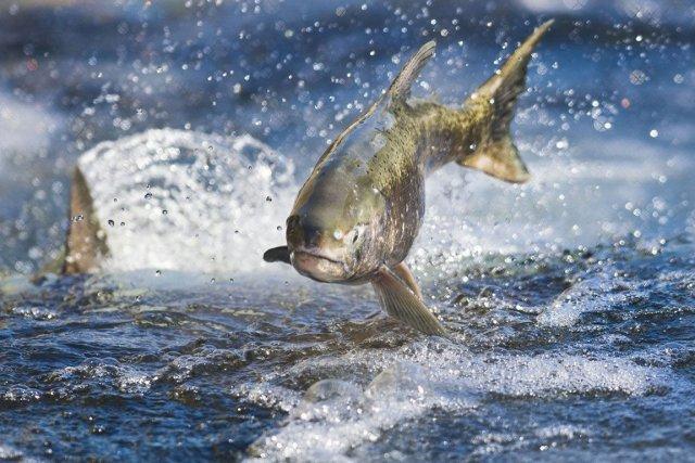 Le numéro un mondial de l'élevage de saumon, le norvégien Marine Harvest,... (Photo archives AP)