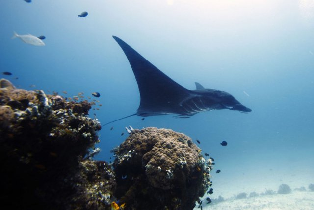 Une raie manta dans les eaux des îles... (Photo d'archives Herman Harsoyo, AP)