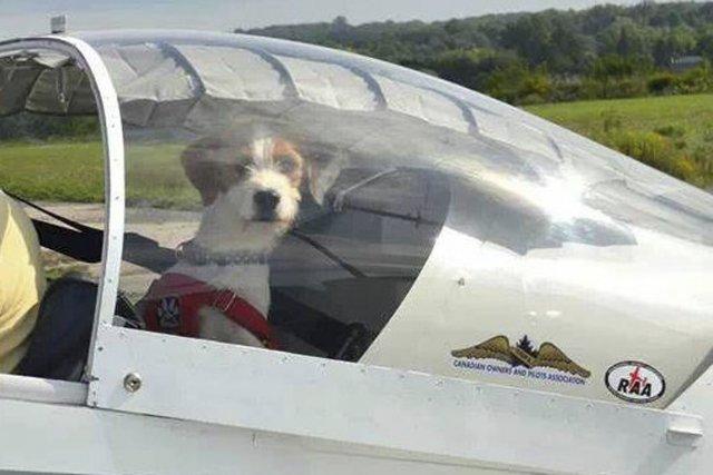 Louie, un chien maltraité gravement blessé devant être... (Photo fournie par Pilots N Paws Canada)