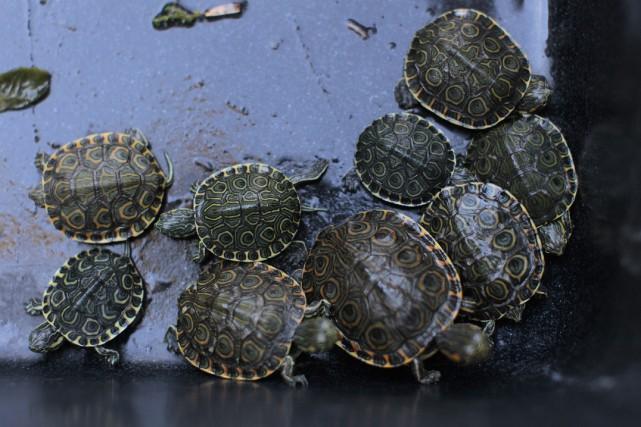 Les tortues étaient venues déposer leurs oeufs il... (Photo REUTERS)