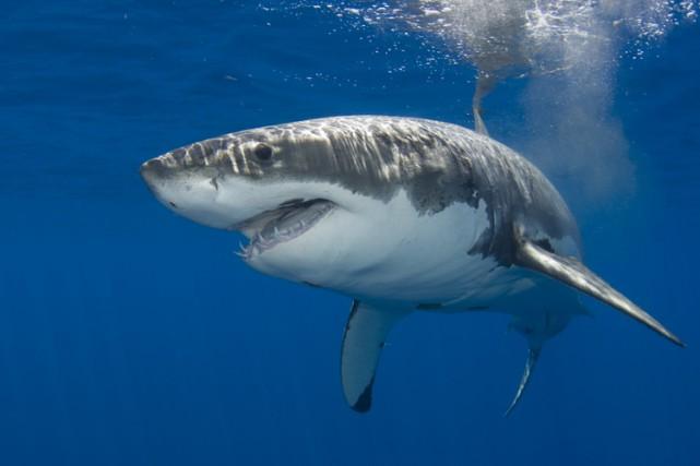 Un grand requin blanc.... (ARCHIVES AP)