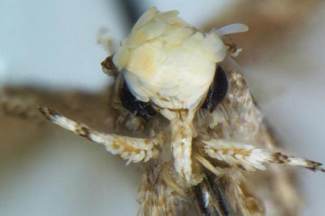 Cette mite, première espèce scientifiquement baptisée en référence... (PHOTO WIKICOMMONS)
