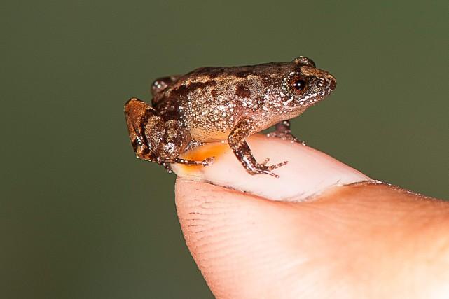 Les grenouilles miniatures mesurent jusqu'à 15,4 millimètres et... (Photo Agence France-Presse)