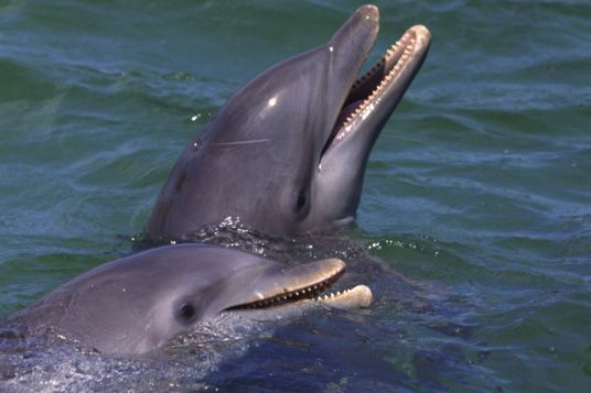 Les dauphins sauvages sont plus exposés à des polluants et sont davantage...