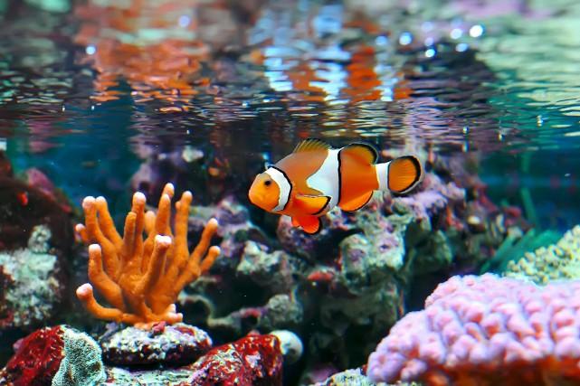 Un poisson-clown.... (123RF/lcalek)