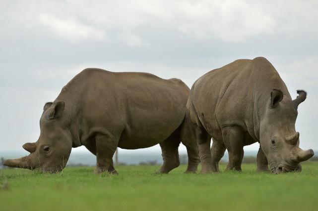 En ligne de mire, les cornes de rhinocéros... (Photo Tony Karumba, archives Agence France-Presse)