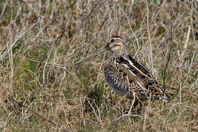 En France, 26% de ces espèces sont menacées... (Photo de Pierre Dalous, tirée de Wikipédia)