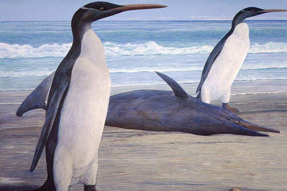 Le fossile d'un pingouin géant découvert