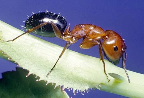 A close up look at a red fire ant.