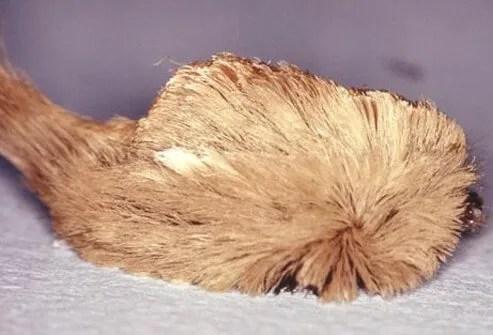 A puss caterpillar or hive producing caterpillar.
