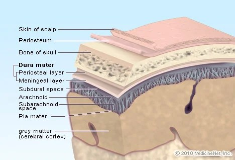 Image result for layers of brain