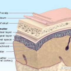 7 Layers Of Skin Diagram Mass Air Flow Sensor Wiring Brain Picture Image On Medicinenet Com