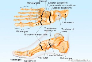 Foot Anatomy Detail Picture Image on MedicineNet
