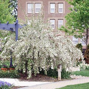Louisa crabapple tree in bloom