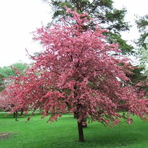 Adams crabapple tree in bloom