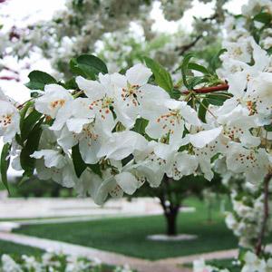 Anne E crabapple blooms