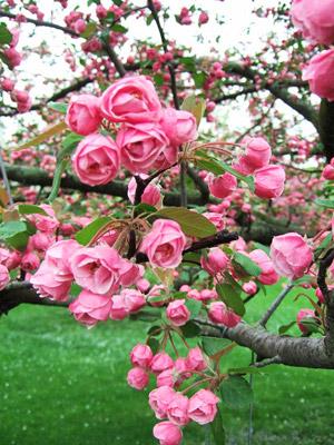 Brandywine crabapple blooms