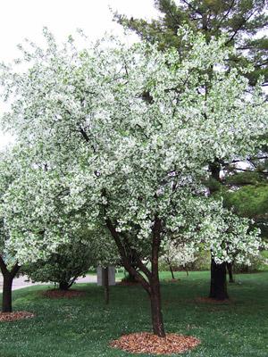 Callaway crabapple tree in bloom