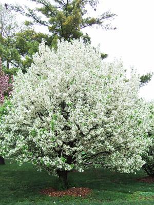 Lancelot crabapple tree in bloom