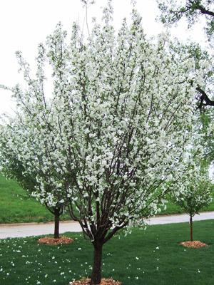Madonna crabapple tree in bloom
