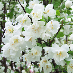 Madonna crabapple blooms