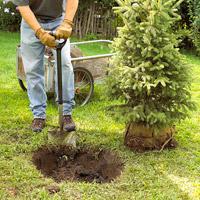 Planting a tree or shrub