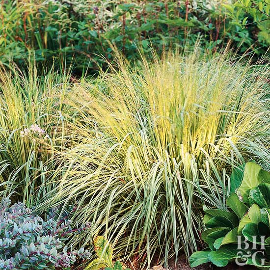 Ornamental grasses for partial shade cottage garden living for Tall purple ornamental grass