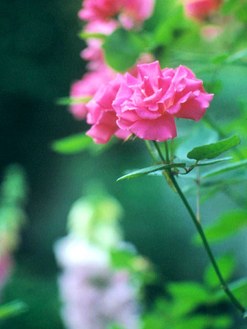 Rose 'Zephirine Drouhin'