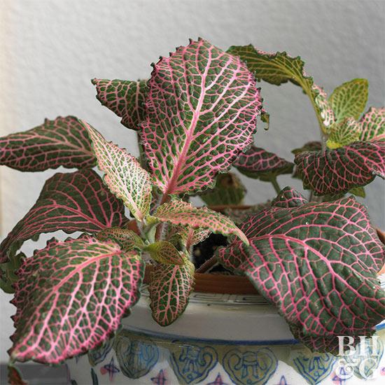 Planta Nervo