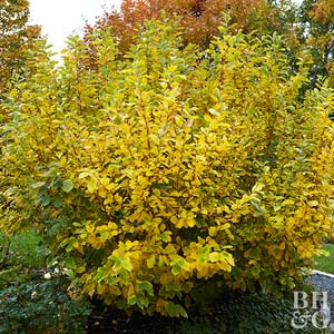 Image result for witch Hazel Tree