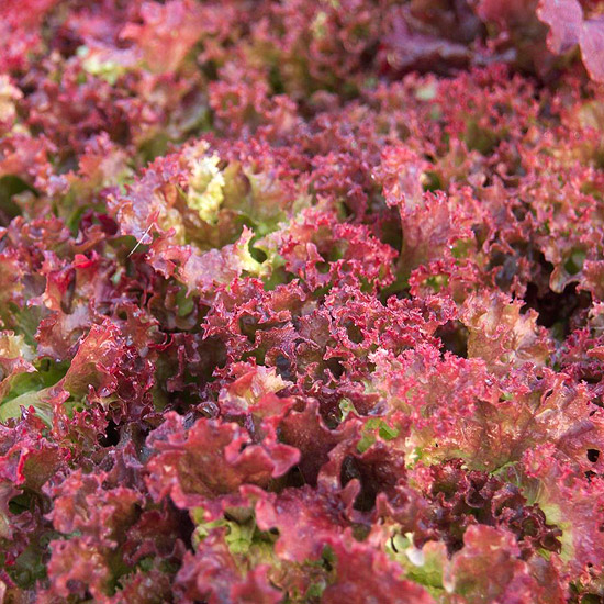Colorful Leaf Lettuce