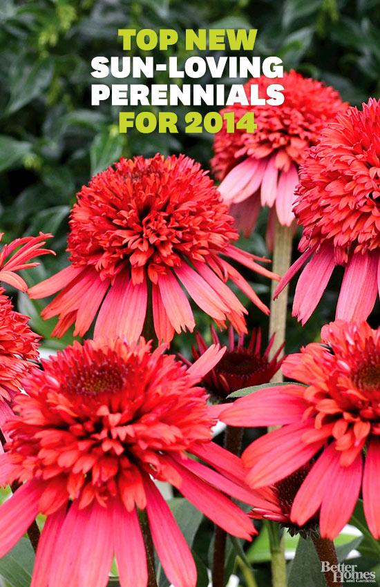 Top New Sun-Loving Perennials for 2014