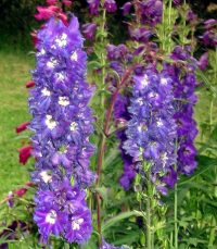 Purple Flower Perennial Plants Pictures to Pin on ...